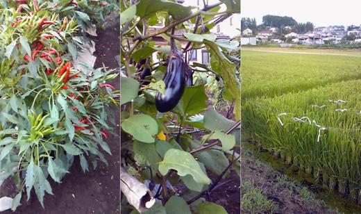 20100815道端の野菜